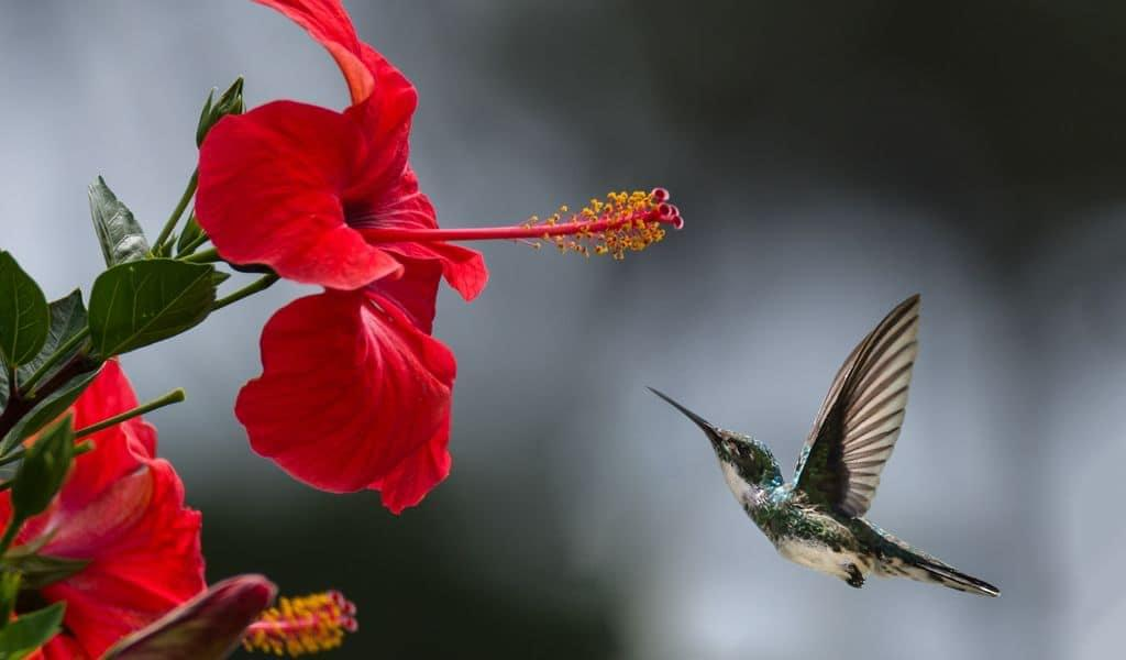 Brown and white hummingbird preparing to land on a red hibiscus flower