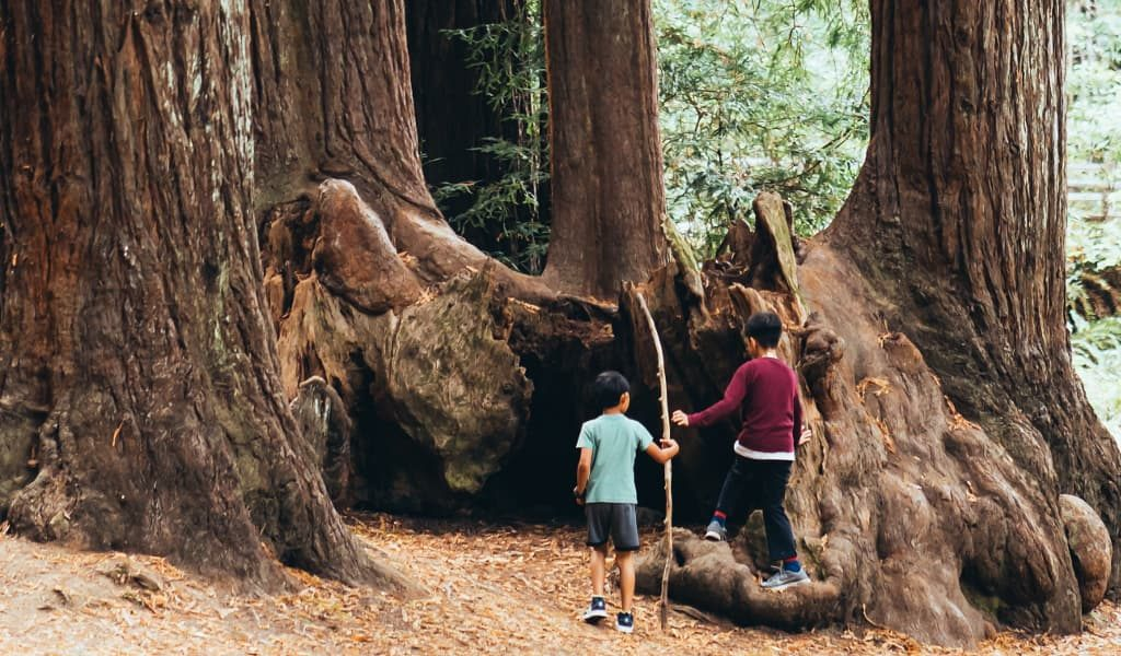 Children beneath large Sequoia trees in a California forest
