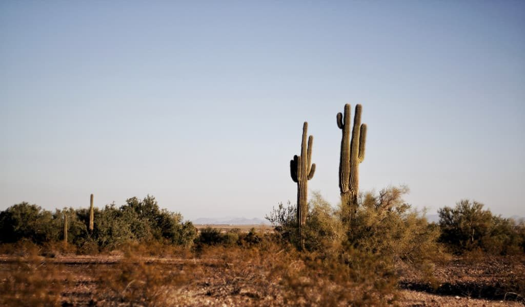 Two green cacti standing in a dry area with blue sky in the background