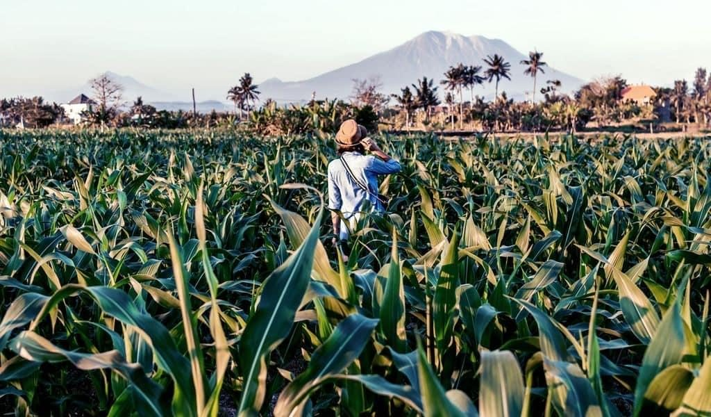Woman wearing a hat and blue shirt standing in the middle of a green cornfield.